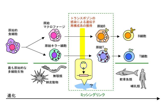 研究者向け記事 T細胞とB細胞の...